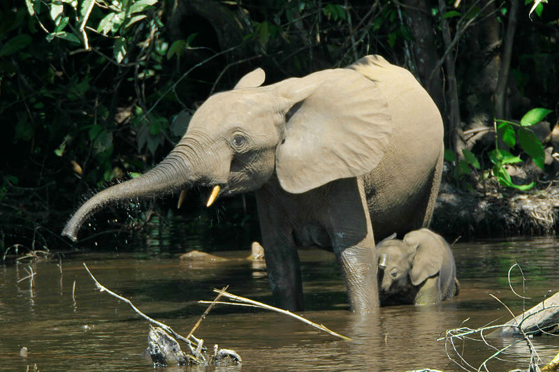 Immense Study Reveals Imminent Extinction of Forest Elephants