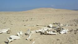 Desert Skelleton Red Sea