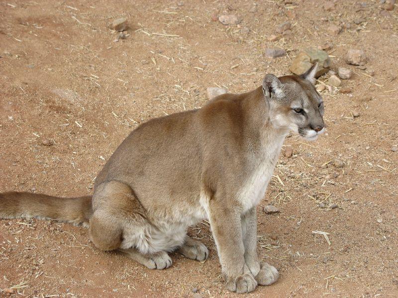 Cougar in la